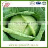 Shandong hot sale fresh cabbage