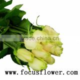 Hotsale fresh cut rose high quality fresh cut flowers blue roses vendela rose with 0.8_1.2kg/bundle from china