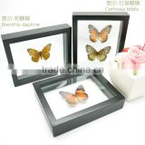 FOUSEN(039 Random Species) Nature&Art double-glass see through framed insectsrectangle framed butterfly
