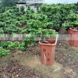 Ficus microcarpa Cliff shape
