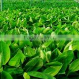Tissue Culture Banana Plants - Sheel Biotech Limited