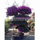 China Bougainvillea spectabilis blooming bonsai wholesale
