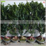 Ficus indoor and outdoor ornamental bonsai plant