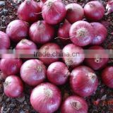 Onion from Nasik,India