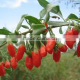 Organic Free Sample Goji Powder(20% Polysaccharide)/Dried Goji Berry Extract/Chinese Wolfberry Extract