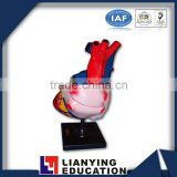 Human Heart Model/Colorful and dissectible model of Human Heart/Anatomical Human Heart Model