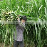 2016 Newest Forage Grass Seeds Gaodan Grass Seeds Sorghum sudan grass seeds For Growing