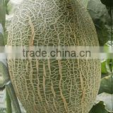 Hybrid F1 hami melon seeds muskmelon for growing-Golden diamond 28