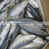 hiqh quality fresh frozen pacific mackerel fish from good factory