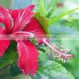 Hibiscus Rosa Sinensis dried flowers extract powder
