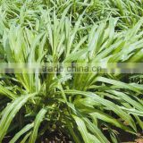 Green High Yield Perennial Hybrid Pennisetum Chinese Forage Seeds