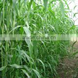 2016 New Forage Grass Seeds Sorghum Sudan Grass Seeds For Growing