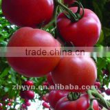 Pink Tomato Seeds ZY-CC