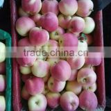 fresh new crop red Gala apple