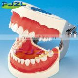 2015 hot sale typodont dental study teeth model with removable screw for training