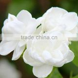 Eucalyptus Table Decoration Foliage white roses High Quality anthurium cut flowers jasmine fashion china supplier all types