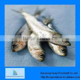 frozen fish sardine