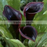 Factory Price High Quality Calla Lili Bulbs For Home Decoration