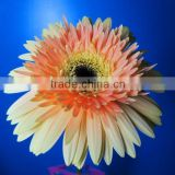 Wholesale price gerbera cut flower preserved gerbera single flower gerbera decoration natural gerbera flower importer