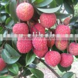 Sell sweet fresh lychee