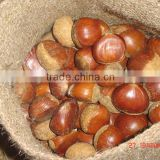 Chinese Fresh Chestnut in shell with mesh bag packing