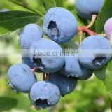 Free Sample supply Bilberry Extract Powder / Blueberry Extract with high quality / 10%~25% Anthocyanidins