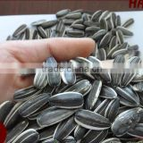 High Quality Oil Sunflower Seeds