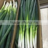 Fresh Vegetables Fresh Long Onion