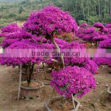 Bougainvillea spectabilis for outdoor landscap plant