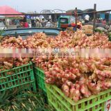 Fresh organic ginger price in china