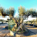 Fargas Collection - Millenary Olive Trees