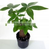 Beautiful flower plants factory supply money plant tree with compete price