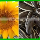 24/64 sunflower seeds 5009 long type
