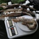 Frozen Squid 150-200g