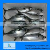 fresh frozen mackerel fish