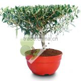 "Olive tree - Olea Europaea ""Plato"" in a Deco Pot"