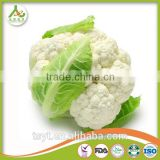 Fresh Round Cabbage in Good Fresh Condition