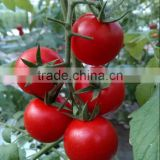 Tomato seeds red tomato seeds anti TY General F1