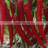 Hybrid F1 green red chilli pepper seeds for sale-Xiang La No.2