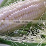 Non GMO White maize/corn