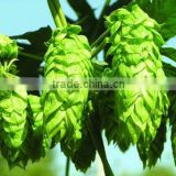 100% Natural Hops extract/beer hops