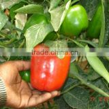 Capsicum Red color , Yellow Color