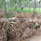 Cold resistant paulownia root system for lumber trees