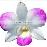 Thailand Top Quality D-003 Dendrobium Young Star Orchid