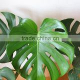 Excellent quality Cheapest Fresh Cut Monstera Foliage