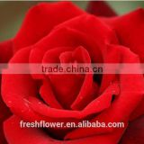 wholesale different types of fresh cut red rose flowers