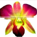Thailand High Quality D-010 Dendrobium Dyed Color Orange Orchid