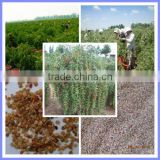 How to grow goji berries from ningxia goji berry plant seeds for sale benefits of goji berries