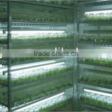 seedlings tissue culture for any flower and ornament plant