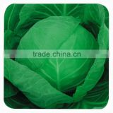 Chinese vegetable hybrid cabbage Seeds Kale Seed for planting-Sino cabbage No. 21